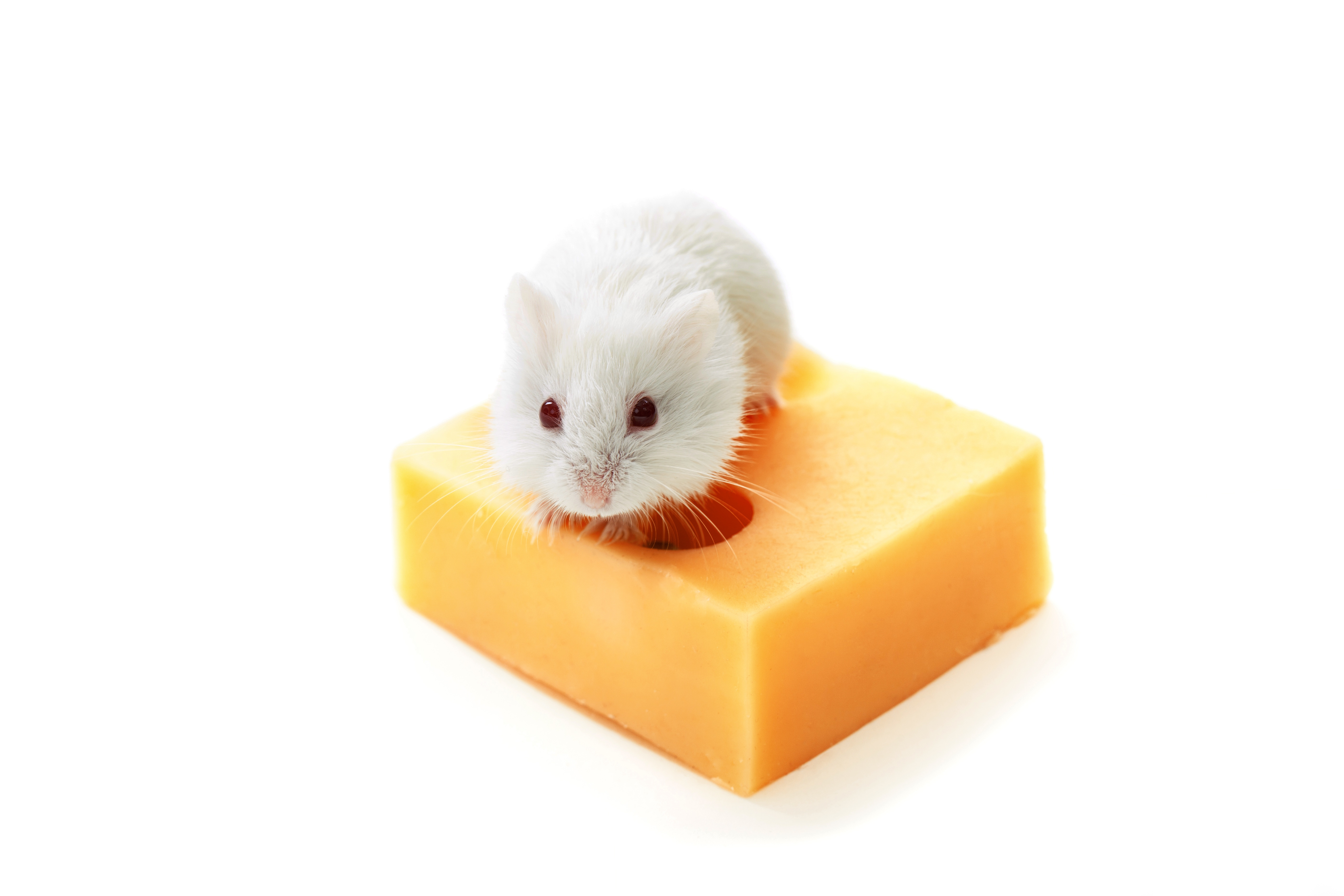 White-Mouse-And-Cheese.jpg